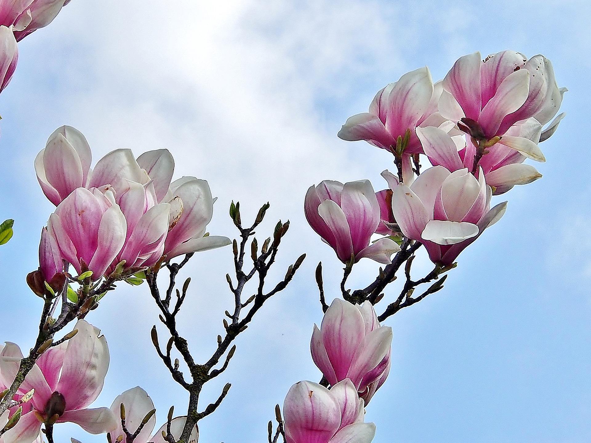 magnolia-3261086_1920